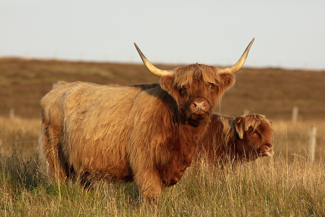 Broad Bay Highland Cattle Fold Imagery by Jade Starmore