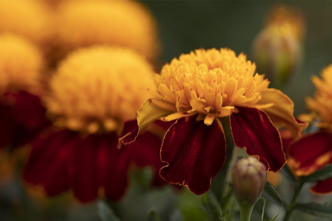 Marigolds02WEBONLY